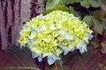 Hydrangea blossom close up green blue Stock Image