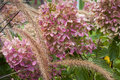 Hydrangea blossoms foxtail grass and pink in autumn Royalty Free Stock Photography