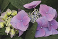 Hydrangea chinensis flowers stock photo Royalty Free Stock Photography