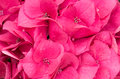 Hydrangea flower or blossom close up Stock Photos