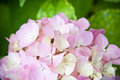 Hydrangea flower closeup image of Stock Photography