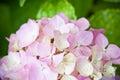 Hydrangea flower closeup image of Stock Photography