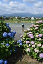 Hydrangea in full blooming rural area Royalty Free Stock Photo