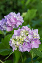 Hydrangea flower or Hortensia Stock Photo