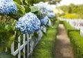 Hydrangea flower Hydrangea macrophylla in a garden Royalty Free Stock Photo