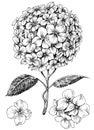 Hydrangea flower set