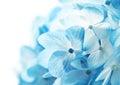 Hortenzie kvety