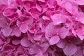 Hydrangea flowers close up. Pink flowers. Garden plants. Royalty Free Stock Photo