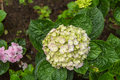Hydrangea flowers in a garden Royalty Free Stock Photo