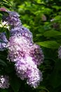 Hydrangea Flowers in the Garden Royalty Free Stock Photo
