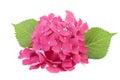 Hydrangea Flowers Isolated On ...