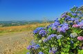 Hydrangea hortensia flowering in brittany france Royalty Free Stock Images