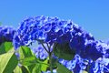 Hydrangea hortensia flowering in brittany france Royalty Free Stock Photo