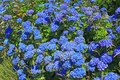 Hydrangea hortensia flowering in brittany france Stock Photography
