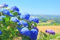 Hydrangea hortensia flowering in brittany france Stock Photos