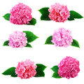 Hydrangea Hortensia Flowers Collection Royalty Free Stock Photo