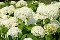 Hydrangea large white blossoms of in the park Stock Photo