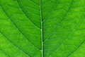 Hydrangea leaf close up Stock Photo