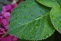 Hydrangea leaves Royalty Free Stock Photo