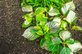 Hydrangea leaves with symptom of dog urine damage silver coloring as the Stock Photography