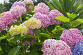 Hydrangea macrophylla Royalty Free Stock Photo