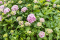 Hydrangea macrophylla, pink Hortensia bush Royalty Free Stock Photo