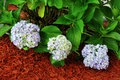 Hydrangea Macrophylla Plant Royalty Free Stock Photo