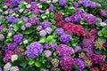 Hydrangea macrophylla (Thunb.) Ser. Flower in Garden Royalty Free Stock Photo