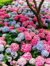 Hydrangea in Multi Colors Stock Image