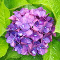 Hydrangea natural flower photo of insummer season Royalty Free Stock Photography