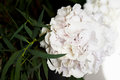 Hydrangea with one bunch of white flowers and big green leaves for a natural background Royalty Free Stock Photo