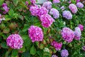 Hydrangea is pink, blue, lilac, violet, purple, white flowers ar Royalty Free Stock Photo