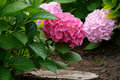 Hydrangea Royalty Free Stock Photo