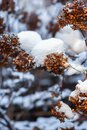 Hydrangea plants with  blossoms  in winter time covered  with snow in the garden in daylight Royalty Free Stock Photo