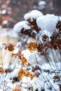 Hydrangea plants with  blossoms  in winter time covered  with snow in the garden in sunlight Royalty Free Stock Photo