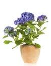Hydrangea Shrub In Flower Pot ...