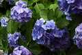 Hydrangea to get wet in the rain Royalty Free Stock Photo