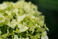Hydrangea with water drops after a rain close up Royalty Free Stock Images
