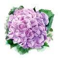 Hydrangea watercolor illustration.