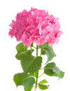 Hydrangea on white Stock Photos