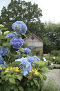 Hydrangeas blue other flowers in front of gardening shed with trees Stock Photography