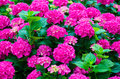 Hydrangeas garden with beautiful fuchsia Stock Photography