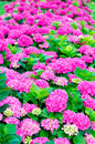 Hydrangeas garden with beautiful fuchsia Stock Photo