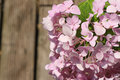 Hydrangeas pink flowers in the nature Royalty Free Stock Images