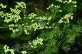 Hydrilla is a genus of aquatic plant Royalty Free Stock Photo