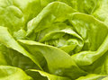 Hydroponic Bibb Lettuce Royalty Free Stock Photography