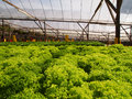 Hydroponic farm vegetable which is the closing system Royalty Free Stock Images