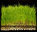 Hydroponic gardening grass growing fresh green in water Royalty Free Stock Image