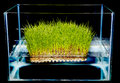 Hydroponic gardening grass growing fresh green in a water tank Royalty Free Stock Image