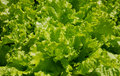 Hydroponic Lettuce Royalty Free Stock Photo
